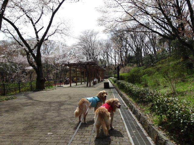 東高根森林公園 桜 2014-4-1 004