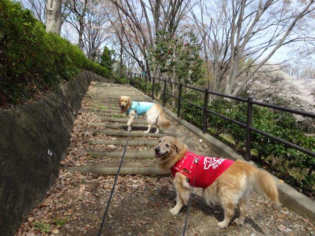 東高根森林公園 桜 2014-4-1 005
