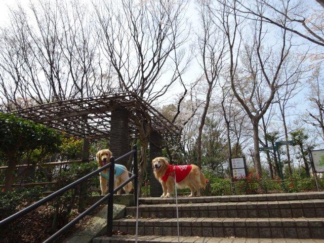 東高根森林公園 桜 2014-4-1 006