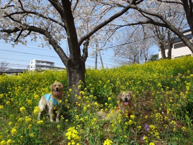 東高根森林公園 桜 2014-4-1 007