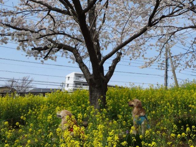 東高根森林公園 桜 2014-4-1 013