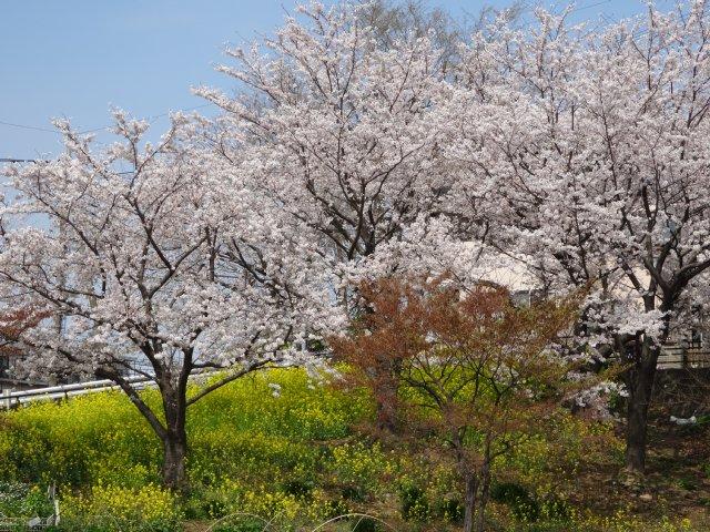 東高根森林公園 桜 2014-4-1 014