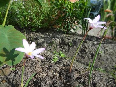 ミーシャの花