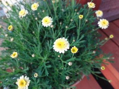 マーガレット二度目開花