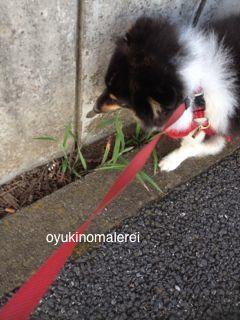 溝の猫じゃらし2014.9.8