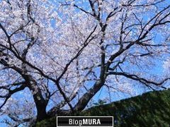 名古屋 桜