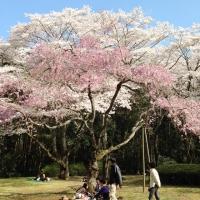 2014桜