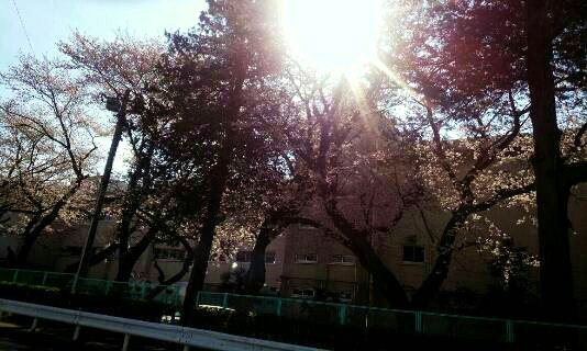 img20140331_小学校の桜の木.jpg