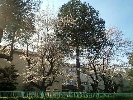 img20140331_小学校の桜の木2.jpg