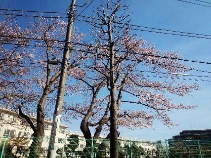 img20140331_別の小学校の桜の木.jpg