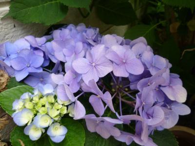 先生のお宅の紫陽花