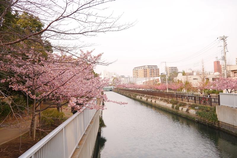 kawadusakura04.jpg