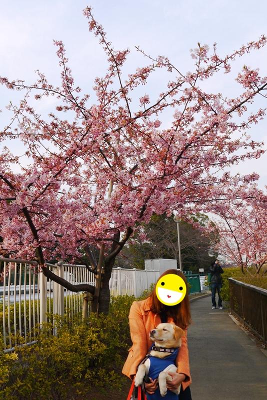 kawadusakura05.jpg
