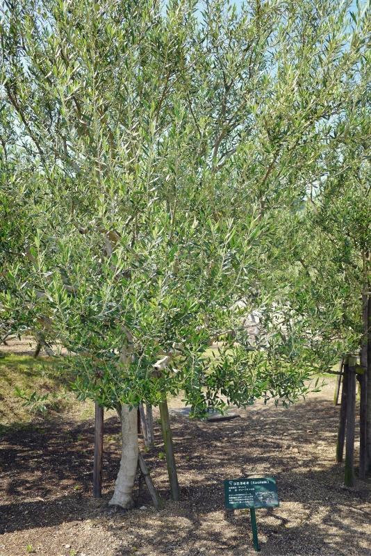 olive03.jpg