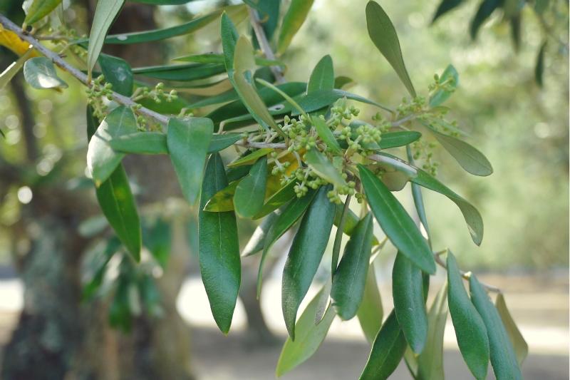 olive17.jpg