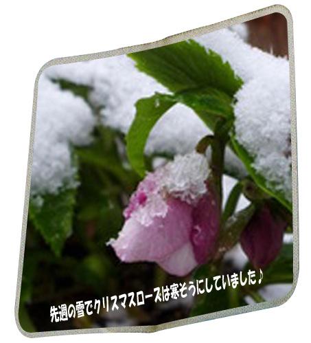 雪クリスマスローズ
