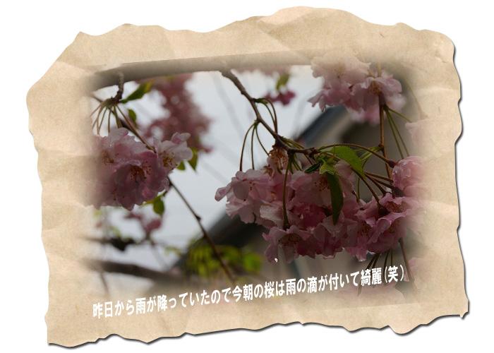 滴のついた桜