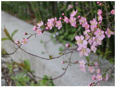 260331山桜桃梅3