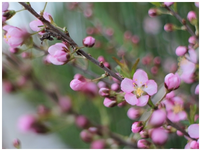 260331山桜桃梅4