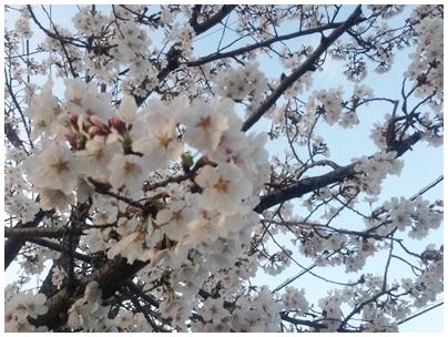 260331桜1