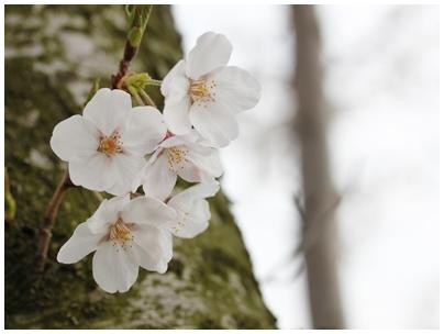 260402桜1