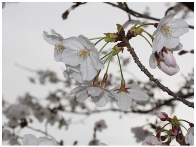 260402桜2