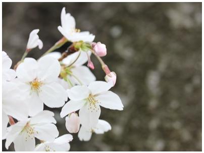 260402桜3