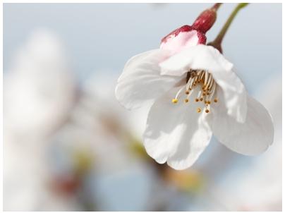 260402桜5
