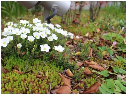 260421白い花1