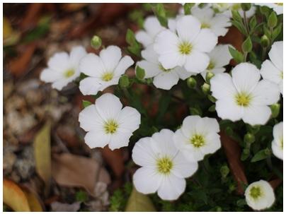 260421白い花3