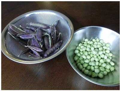 260512紫エンドウ豆2