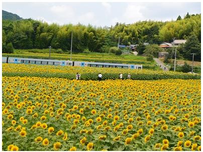 ひまわり畑5(電車)
