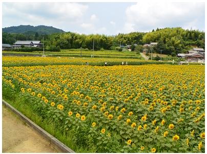 ひまわり畑6(展望台より)