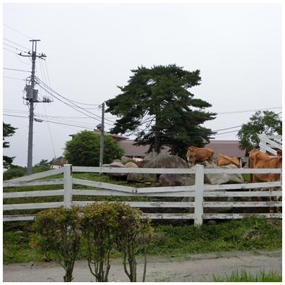 清泉寮9(ジャージー牛)