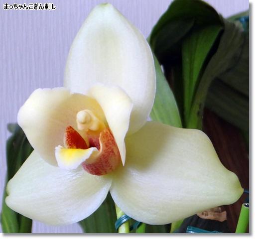 黄色のリカステの花
