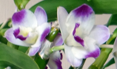 デンドロビウムチャーミングポッポの花