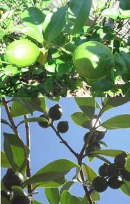 レモンと果樹