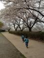 伊佐沼の桜1