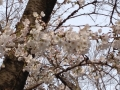 伊佐沼の桜2