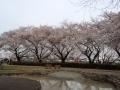 伊佐沼の桜3