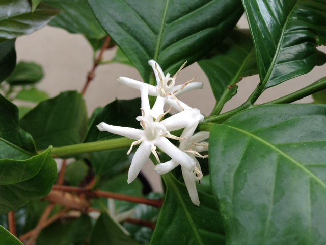 コーヒーの木4