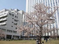 のろし@秋葉原・20140405・桜