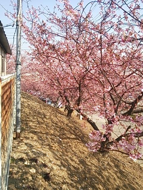 河津桜 2014-2-25-1