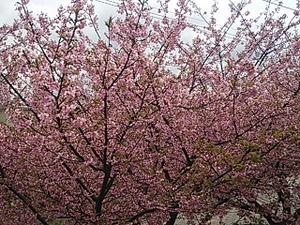2014 3 3 桜満開-1
