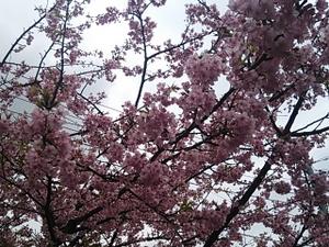 2014 3 3 桜満開-2