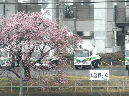 140302-203大宮操の桜(S)