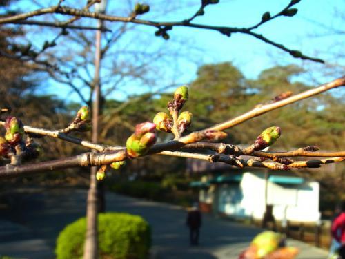 140323-203桜の蕾(S)