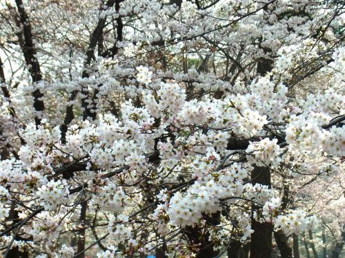 140329-202桜(S)