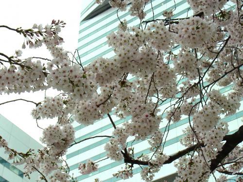 140330-202桜(S)