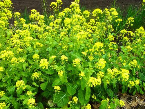 140405-202菜の花(S)